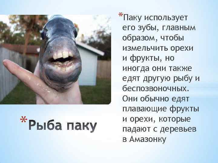 *Паку использует * его зубы, главным образом, чтобы измельчить орехи и фрукты, но иногда