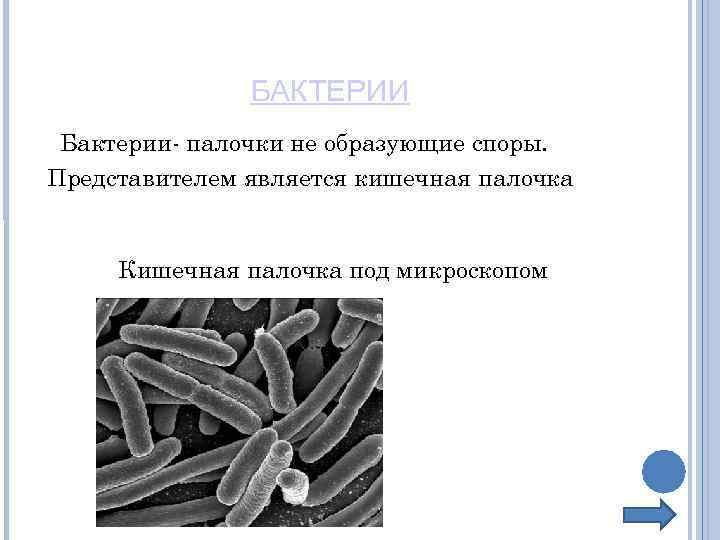 БАКТЕРИИ Бактерии- палочки не образующие споры. Представителем является кишечная палочка Кишечная палочка под микроскопом