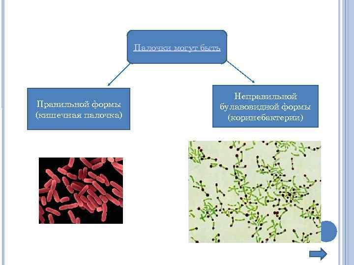 Палочки могут быть Правильной формы (кишечная палочка) Неправильной булавовидной формы (коринебактерии)