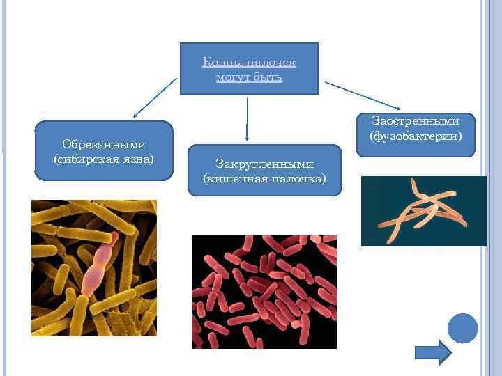 Концы палочек могут быть Обрезанными (сибирская язва) Заостренными (фузобактерии) Закругленными (кишечная палочка)