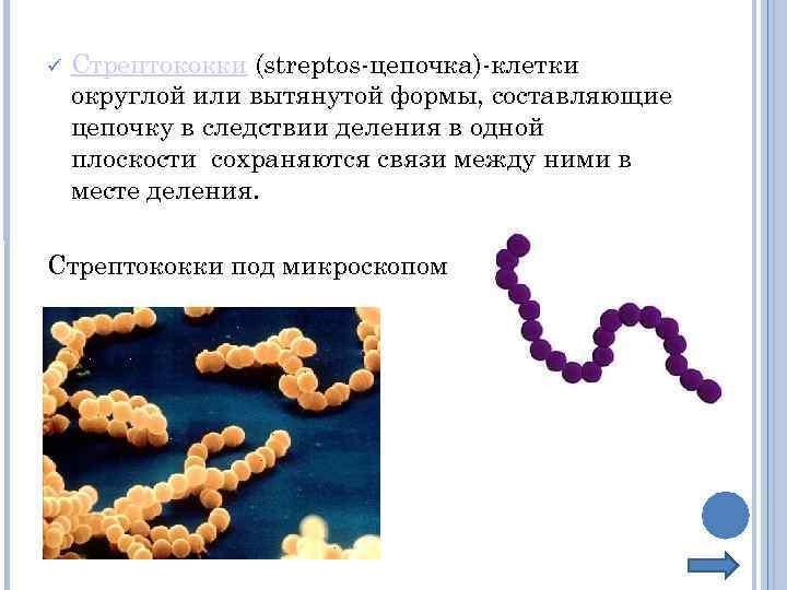 Стрептококки (streptos-цепочка)-клетки округлой или вытянутой формы, составляющие цепочку в следствии деления в одной