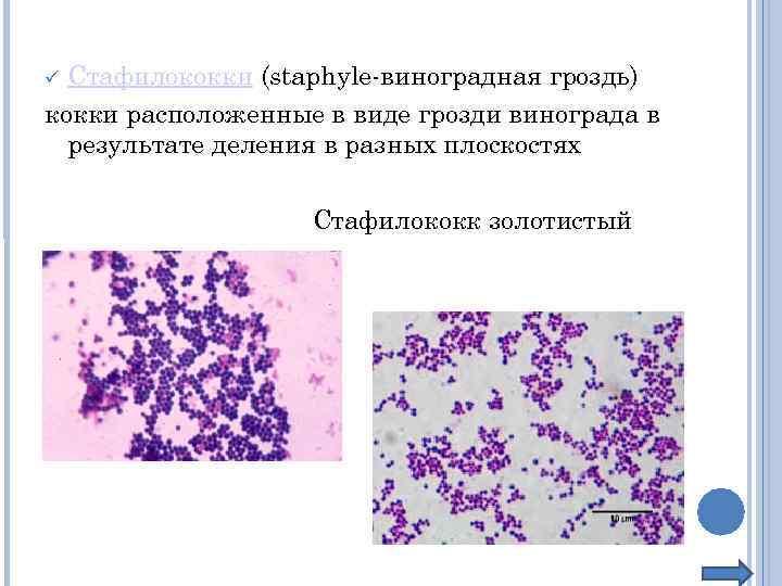 Стафилококки (staphyle-виноградная гроздь) кокки расположенные в виде грозди винограда в результате деления в разных