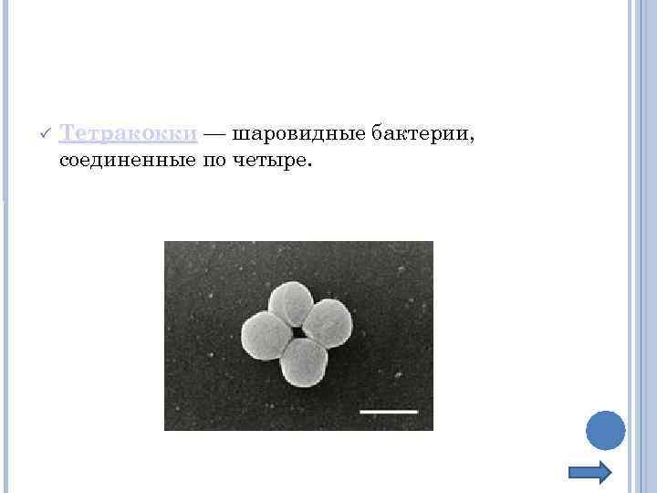 Тетракокки — шаровидные бактерии, соединенные по четыре.