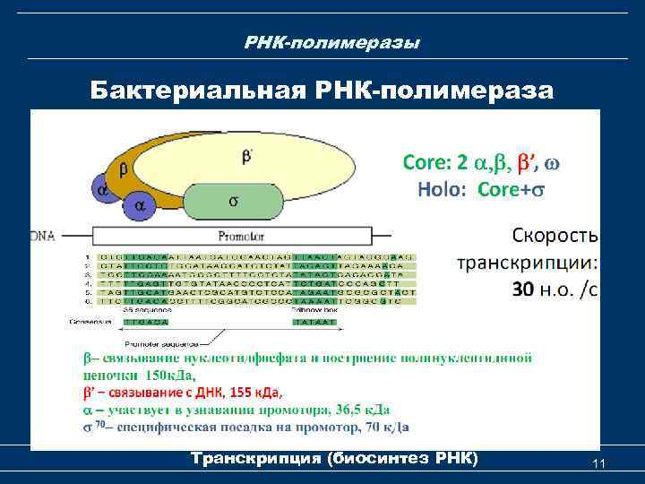 РНК-полимеразы Бактериальная РНК-полимераза Транскрипция (биосинтез РНК) 11