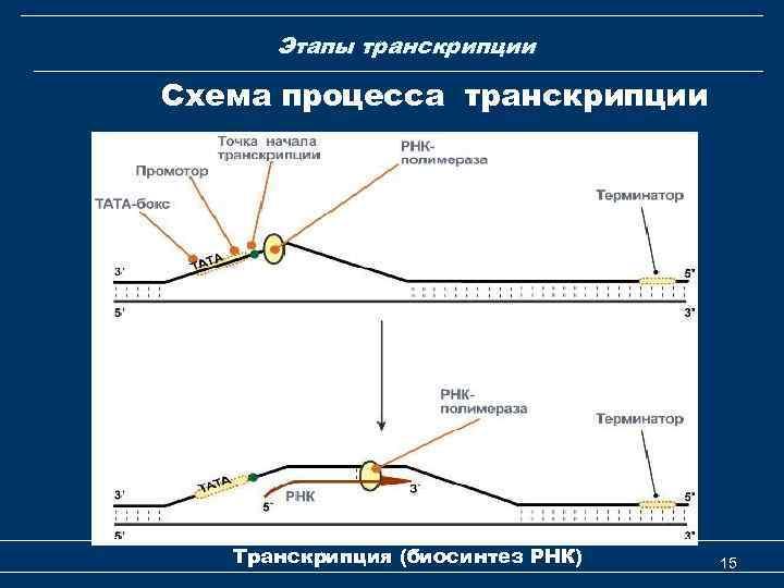 Этапы транскрипции Схема процесса транскрипции Транскрипция (биосинтез РНК) 15