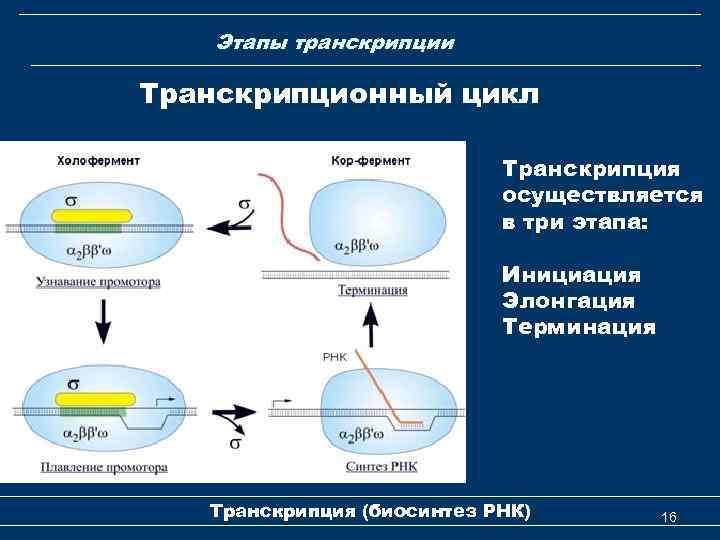 Этапы транскрипции Транскрипционный цикл Транскрипция осуществляется в три этапа: Инициация Элонгация Терминация Транскрипция (биосинтез