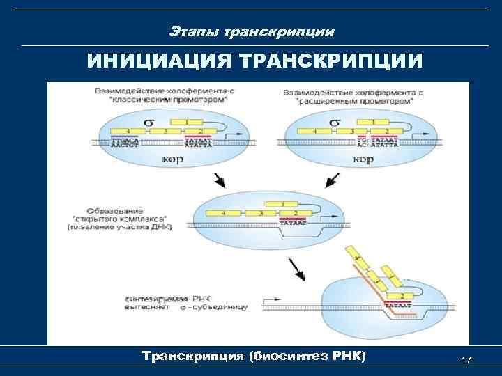 Этапы транскрипции ИНИЦИАЦИЯ ТРАНСКРИПЦИИ Транскрипция (биосинтез РНК) 17