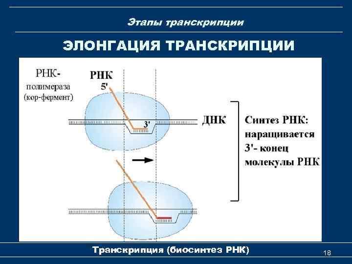 Этапы транскрипции ЭЛОНГАЦИЯ ТРАНСКРИПЦИИ Транскрипция (биосинтез РНК) 18