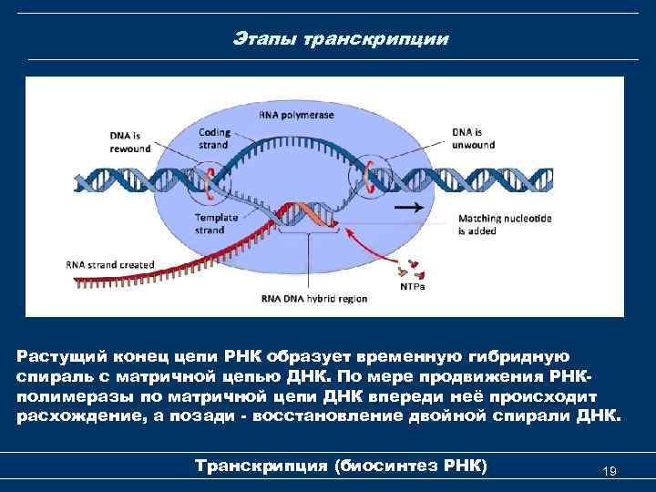 Этапы транскрипции Растущий конец цепи РНК образует временную гибридную спираль с матричной цепью ДНК.
