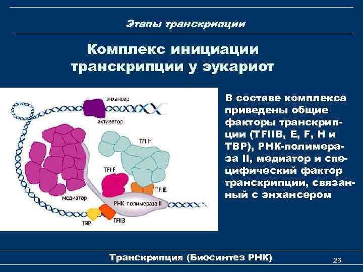 Этапы транскрипции Комплекс инициации транскрипции у эукариот В составе комплекса приведены общие факторы транскрипции