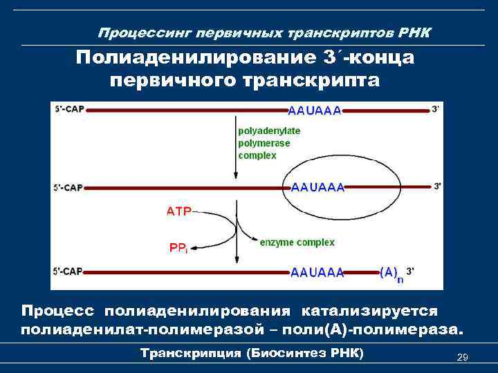 Процессинг первичных транскриптов РНК Полиаденилирование 3ʹ-конца первичного транскрипта Процесс полиаденилирования катализируется полиаденилат-полимеразой – поли(А)-полимераза.