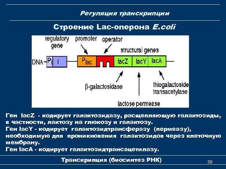 Регуляция транскрипции Строение Lac-оперона E. coli Ген lac. Z - кодирует галактозидазу, расщепляющую галактозиды,