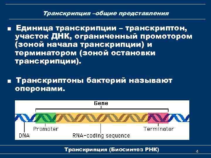 Транскрипция –общие представления ■ Единица транскрипции – транскриптон, участок ДНК, ограниченный промотором (зоной начала