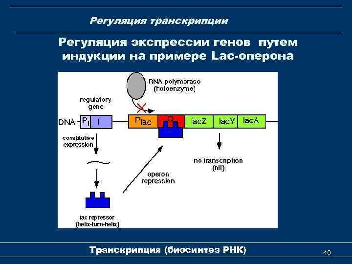 Регуляция транскрипции Регуляция экспрессии генов путем индукции на примере Lac-оперона Транскрипция (биосинтез РНК) 40