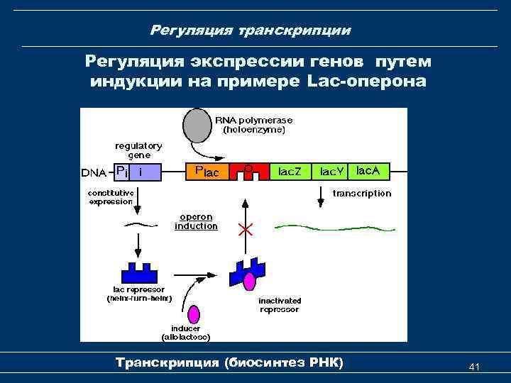 Регуляция транскрипции Регуляция экспрессии генов путем индукции на примере Lac-оперона Транскрипция (биосинтез РНК) 41