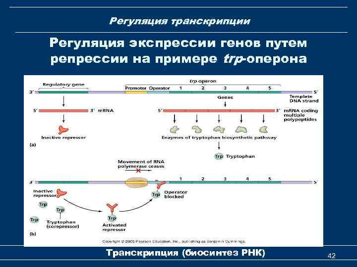 Регуляция транскрипции Регуляция экспрессии генов путем репрессии на примере trp-оперона Транскрипция (биосинтез РНК) 42