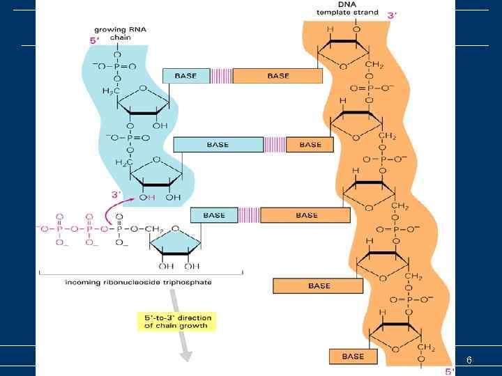 Транскрипция –общие представления Транскрипция (биосинтез РНК) 6