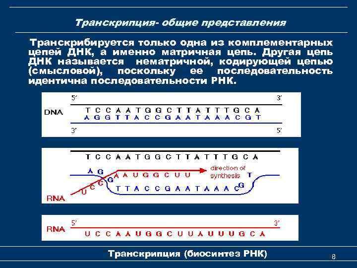 Транскрипция- общие представления Транскрибируется только одна из комплементарных цепей ДНК, а именно матричная цепь.