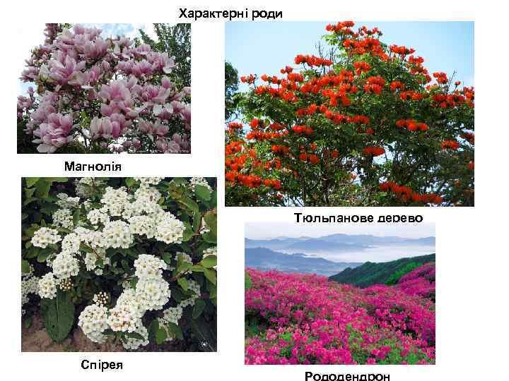 Характерні роди Магнолія Тюльпанове дерево Спірея