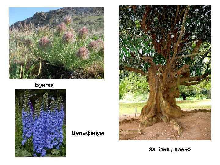 Бунгея Дельфініум Залізне дерево