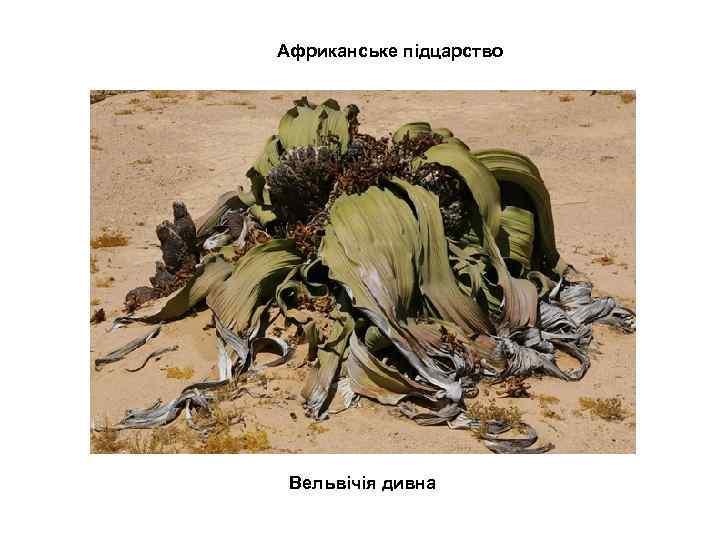 Африканське підцарство Вельвічія дивна