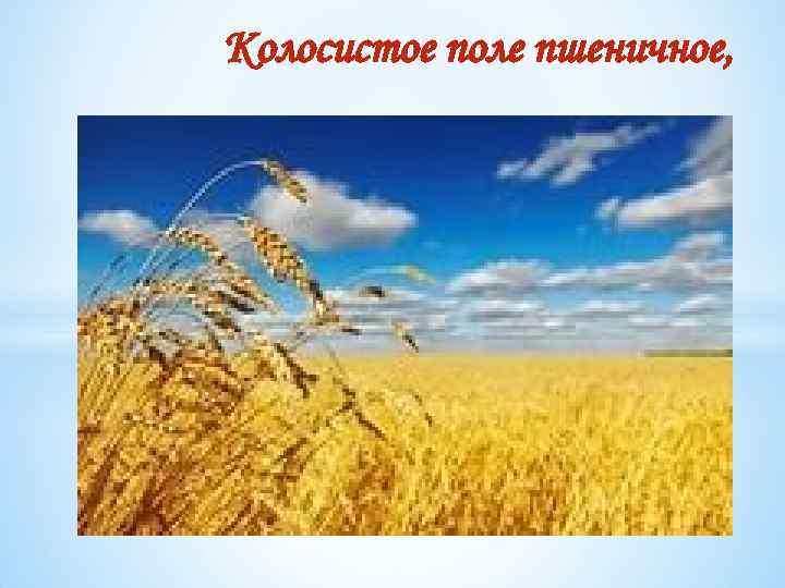 Колосистое поле пшеничное,