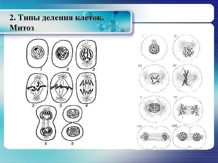 2. Типы деления клеток. Митоз