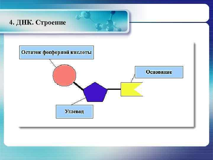 4. ДНК. Строение