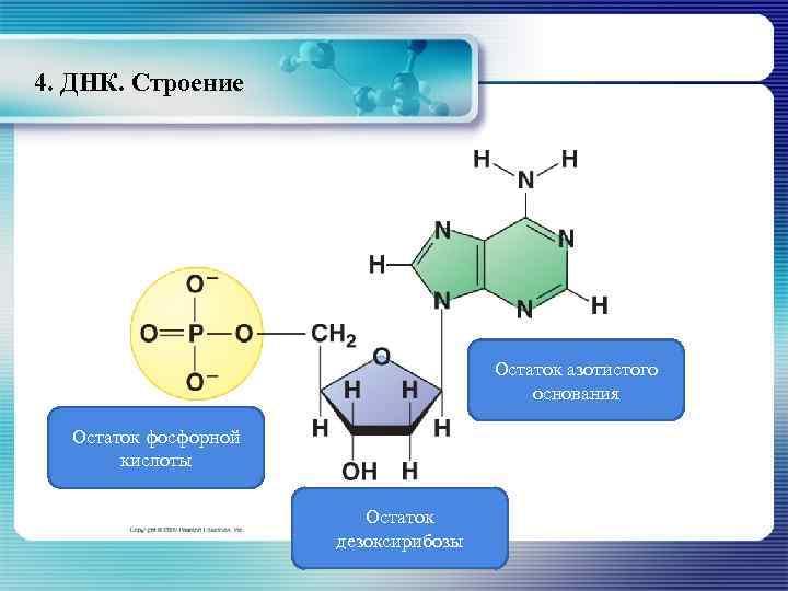 4. ДНК. Строение Остаток азотистого основания Остаток фосфорной кислоты Остаток дезоксирибозы