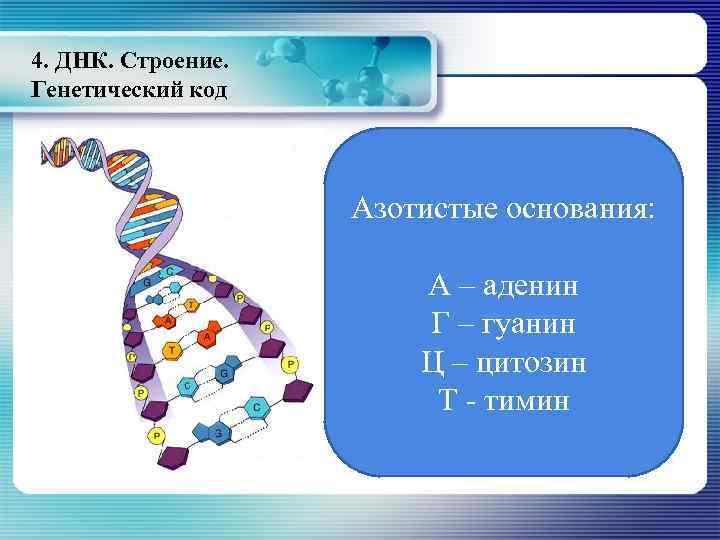 4. ДНК. Строение. Генетический код Азотистые основания: А – аденин Г – гуанин Ц