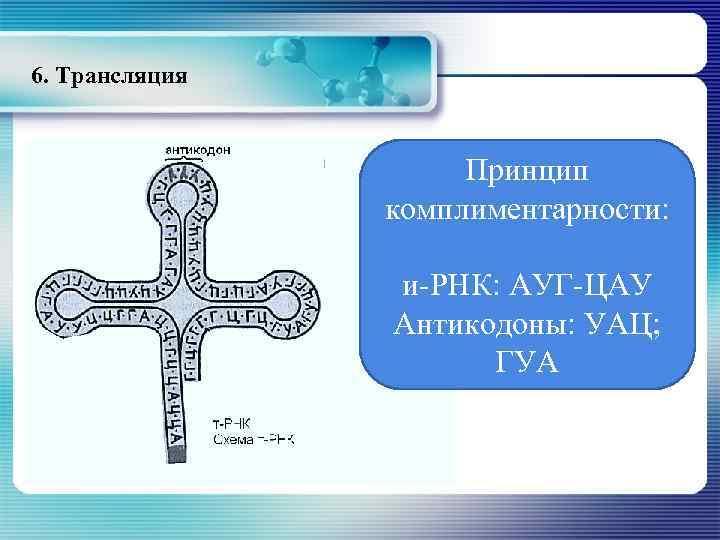 6. Трансляция Принцип комплиментарности: и-РНК: АУГ-ЦАУ Антикодоны: УАЦ; ГУА
