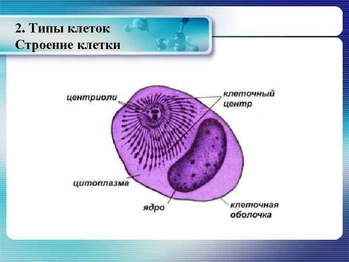 2. Типы клеток Строение клетки