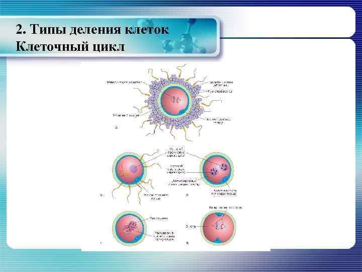 2. Типы деления клеток Клеточный цикл
