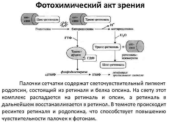 представлены фотохимические процессы в сетчатке как для