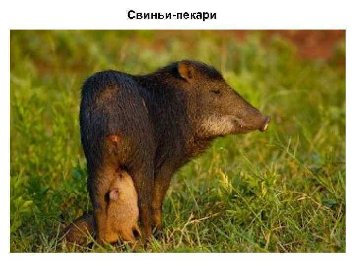 Свиньи-пекари