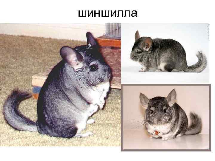 шиншилла