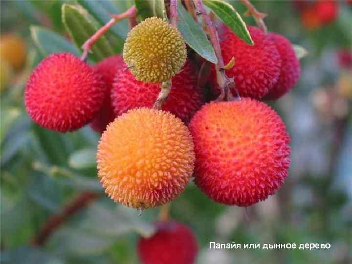 Папайя или дынное дерево