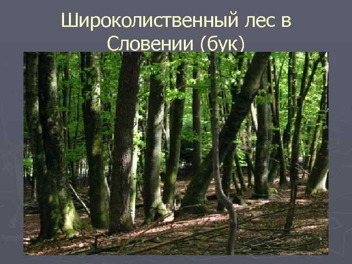 Широколиственный лес в Словении (бук)