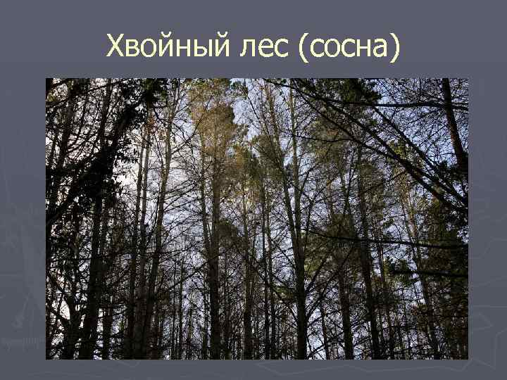 Хвойный лес (сосна)