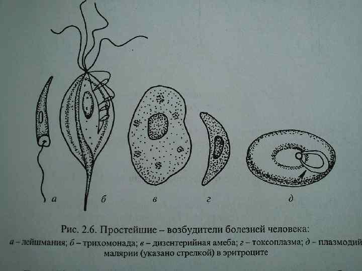 Простейшие паразиты в картинках