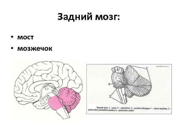 картинка где находится мозжечок это возможно