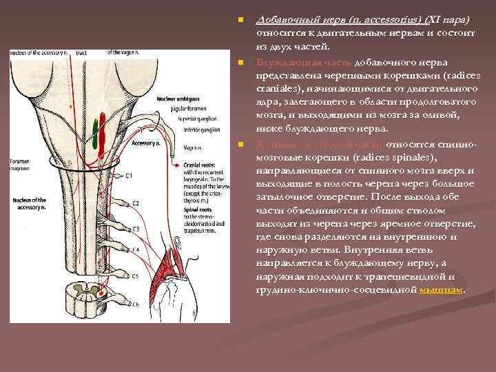 n n n Добавочный нерв (n. accessorius) (XI пара) относится к двигательным нервам и