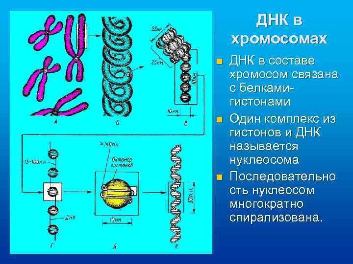 ДНК в хромосомах n n n ДНК в составе хромосом связана с белкамигистонами Один