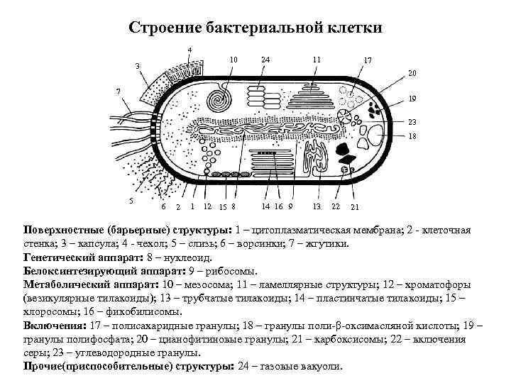 Строение бактериальной клетки 4 10 3 24 11 17 20 7 19 23 18