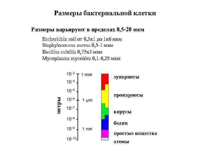 Размеры бактериальной клетки Размеры варьируют в пределах 0, 5 -20 мкм Escherichia coli от