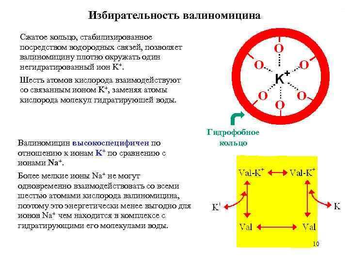Избирательность валиномицина Сжатое кольцо, стабилизированное посредством водородных связей, позволяет валиномицину плотно окружать один негидратированный