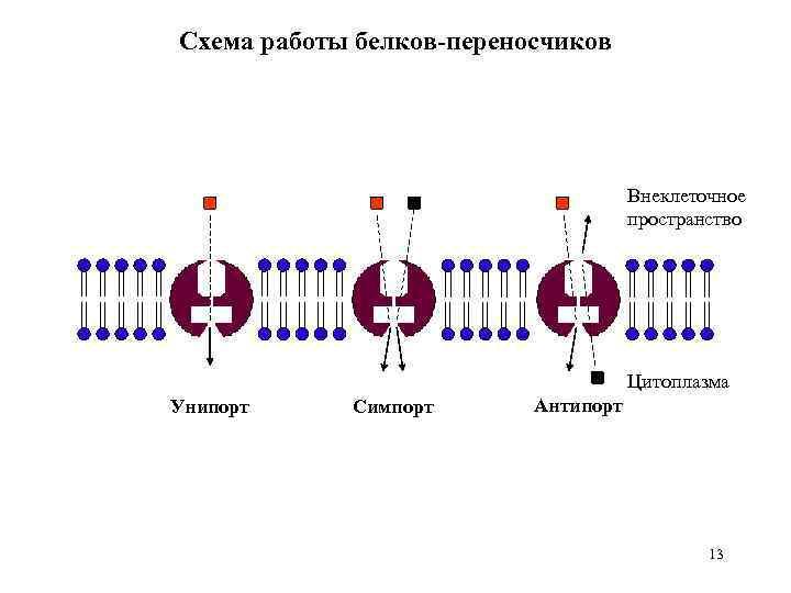 Схема работы белков-переносчиков Внеклеточное пространство Цитоплазма Унипорт Симпорт Антипорт 13