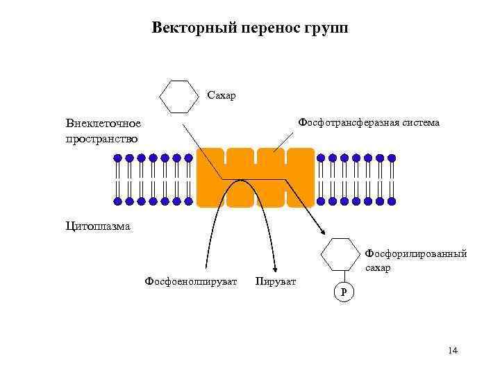 Векторный перенос групп Сахар Фосфотрансферазная система Внеклеточное пространство Цитоплазма Фосфорилированный сахар Фосфоенолпируват Пируват P