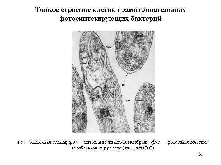 Тонкое строение клеток грамотрицательных фотосинтезирующих бактерий кс — клеточная стенка; цпм — цитоплазматическая мембрана;