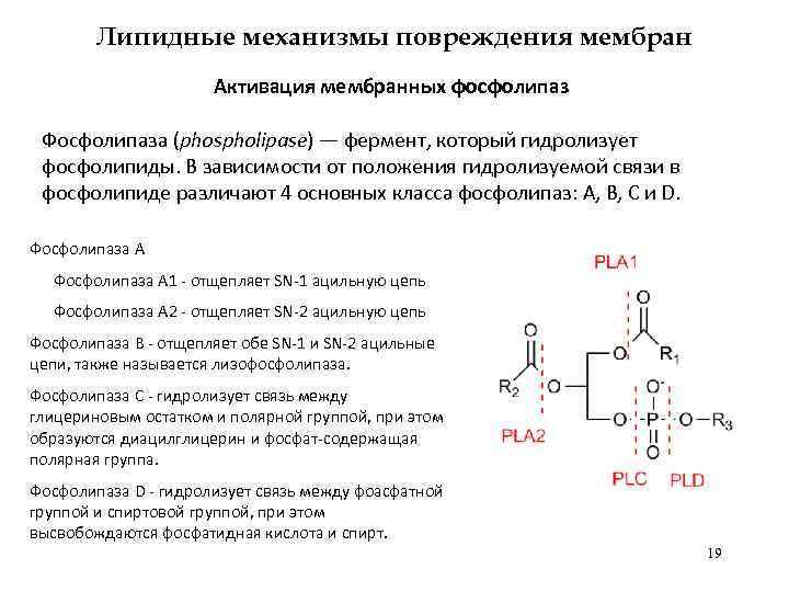 Липидные механизмы повреждения мембран Активация мембранных фосфолипаз Фосфолипаза (phospholipase) — фермент, который гидролизует фосфолипиды.